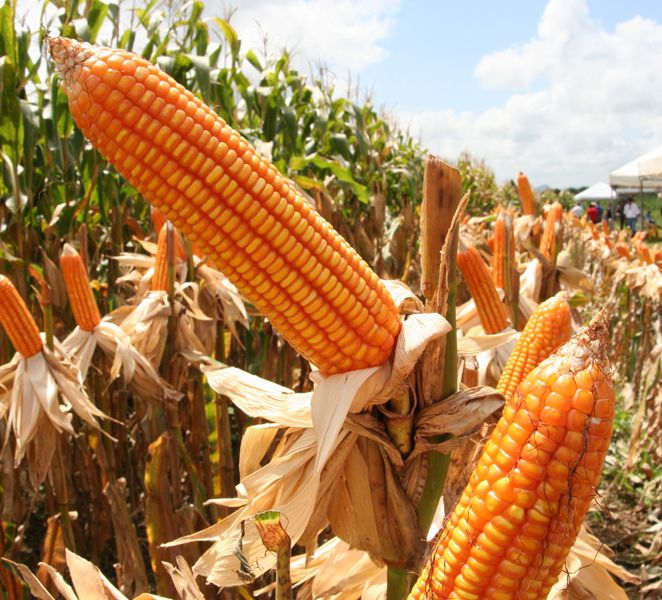 Safra de milho atingirá 793 mil toneladas neste ano
