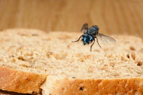 O perigo das moscas