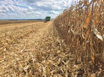 Perda nas lavouras de milho já chegou a 75% nos municípios sergipanos