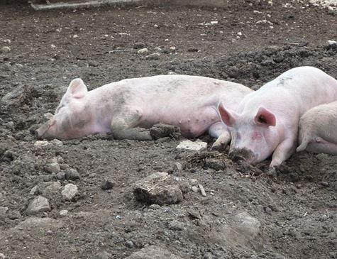 China relata novos focos de peste suína africana