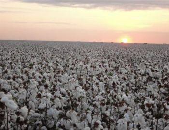Brasil pode ter colheita recorde de algodão neste ano