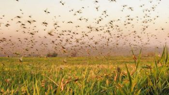 Biólogos acreditam que nuvem de gafanhotos não chegará a Sergipe