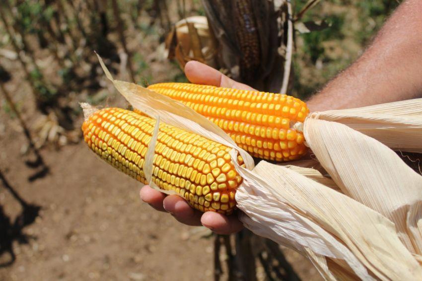 Governo de Sergipe prorroga incentivo fiscal para produtores de milho